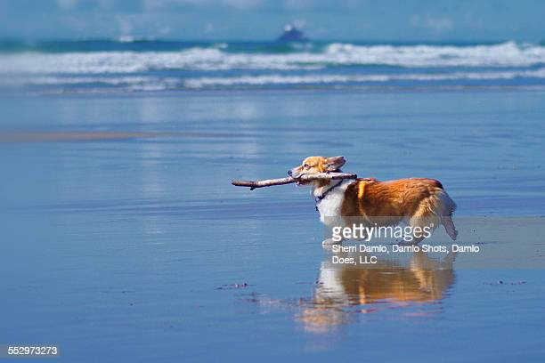corgi playing fetch on the beach - damlo does stock pictures, royalty-free photos & images