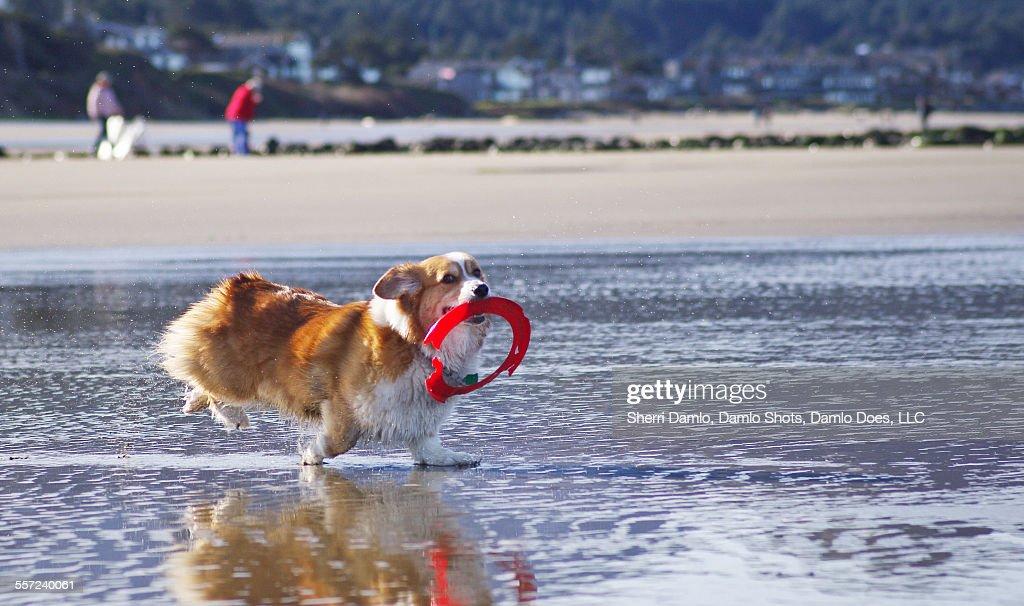 Corgi playing fetch on the beach : Stock Photo