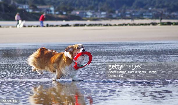 corgi playing fetch on the beach - damlo does imagens e fotografias de stock