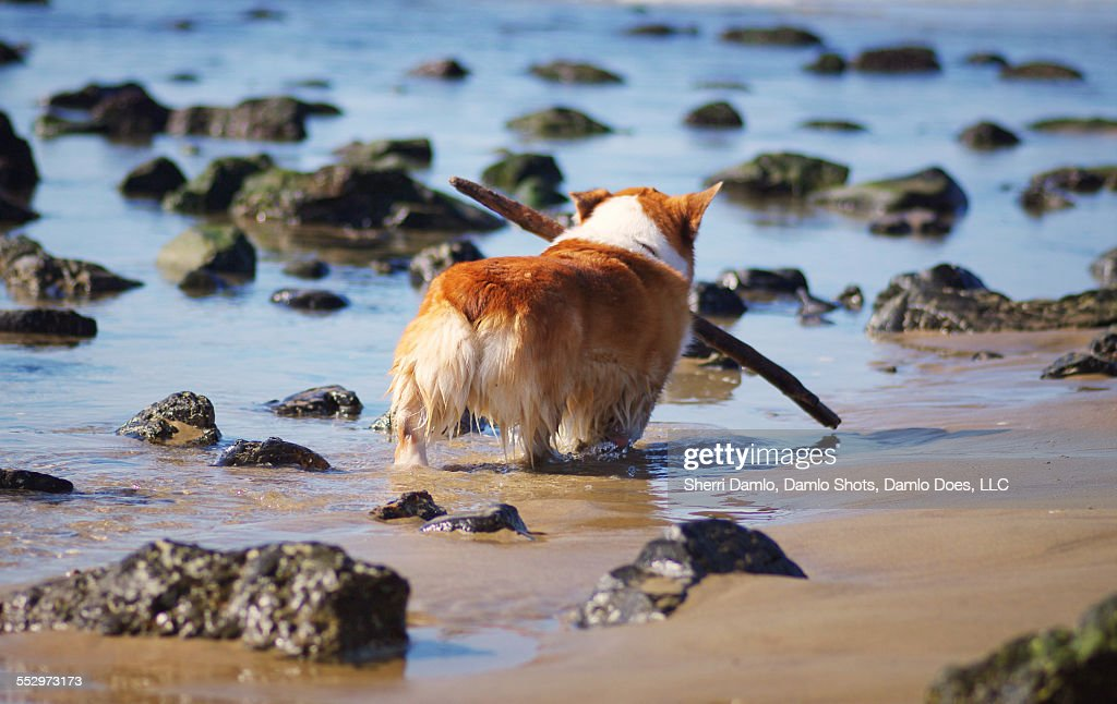 Corgi playing on the beach : Stock Photo
