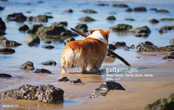 corgi playing on the beach - damlo does imagens e fotografias de stock