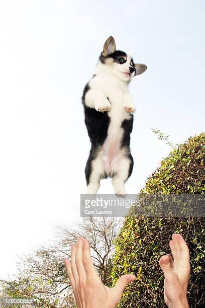 Corgi puppy in the air