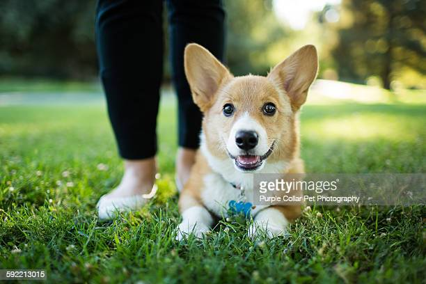 corgi puppy next to person's feet - one animal stock pictures, royalty-free photos & images