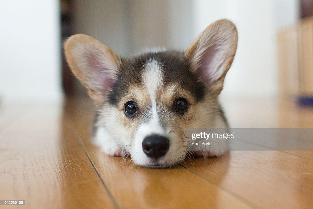 Corgi puppy : Stock Photo