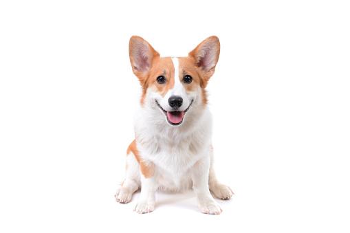 corgi puppy sitting down 1130502863