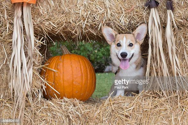 Corgi puppy sitting next to a pumpkin