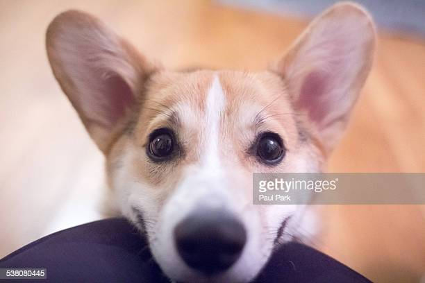corgi puppy smiling up close - suplicar imagens e fotografias de stock