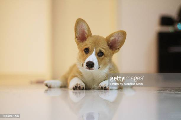 Corgi puppy with a curious expression