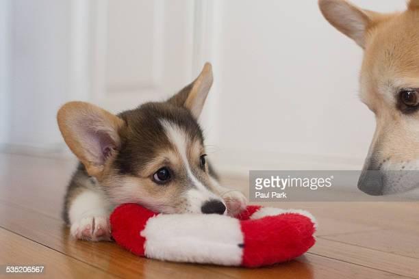Corgi puppy with toy