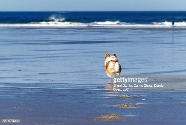 corgi running on the coast - damlo does imagens e fotografias de stock