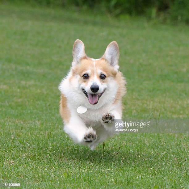 Corgi running