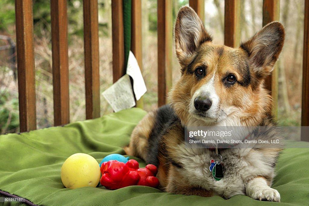 Corgi sitting by dog toys : Stock Photo