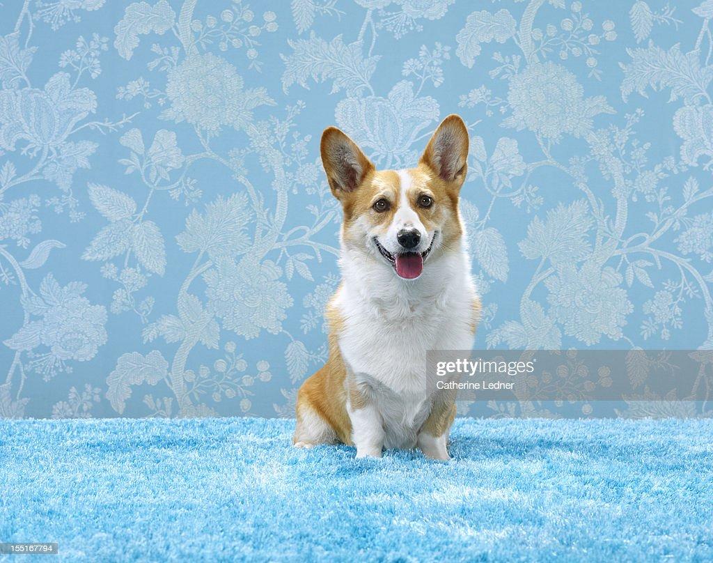 Corgi (Canis lupis familiaris) sitting : Stock Photo