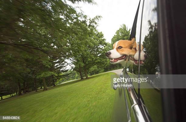 Corgi sticking head out the window