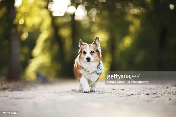 Corgi walking outdoors