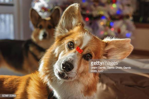 "corgi with an ""as is"" price tag - damlo does stock pictures, royalty-free photos & images"