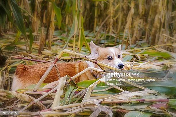 corgi with an ear of corn - damlo does foto e immagini stock