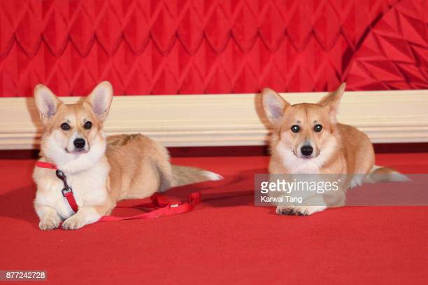 Corgis attend the World Premiere of Netflix's 'The Crown' Season 2 at Odeon Leicester Square on November 21 2017 in London England
