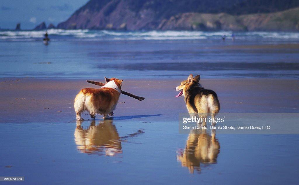 Corgis on an Oregon beach : Stock Photo