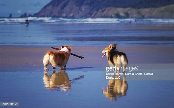 corgis on an oregon beach - damlo does imagens e fotografias de stock