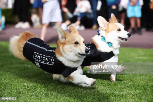 Corgis race during the Royal Corgi Classic on May 19 2018 in Auckland New Zealand Corgis from around the country took part in the races part of...