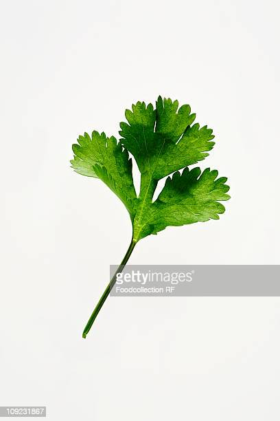 Coriander leaf on white background, close-up