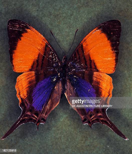 Corinna daggerwing butterfly Nymphalidae