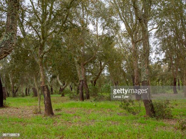 VICENTINA ALENTEJO PORTUGAL A cork forest in southern Portugal Cork is the bark of the tree Cork trees once a premium crop in Portugal are now...