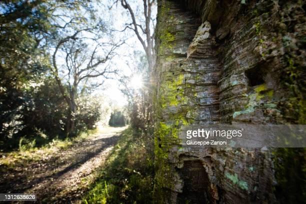 cork forest - orbetello bildbanksfoton och bilder