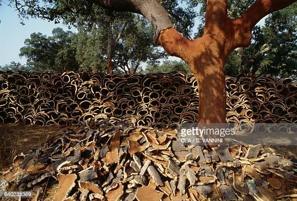 Cork oak and cork bark Alentejo Portugal