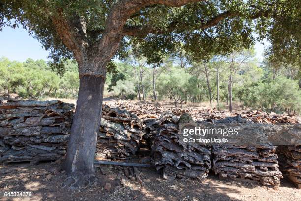 cork oak and piles of cork oak barks - cork tree stock photos and pictures