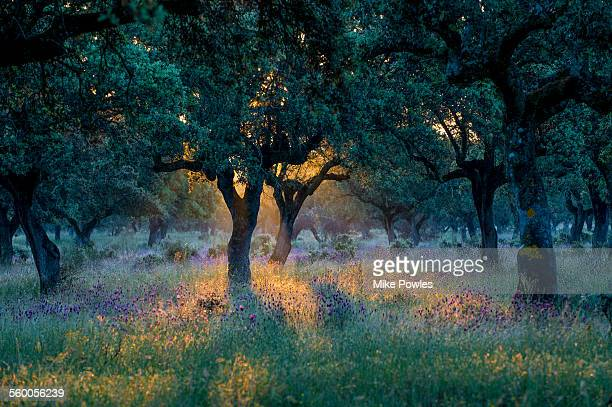 cork oak dehesa with french lavender - extremadura stock pictures, royalty-free photos & images