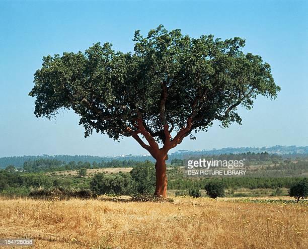 Cork Oak Fagaceae