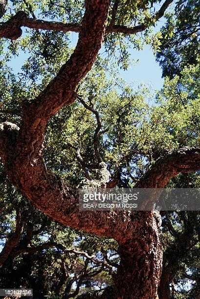 Cork Oak Fagaceae surroundings of PortoVecchio Corsica France