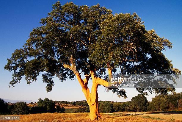 Cork oak in Monfrague National Park Extremadura Spain