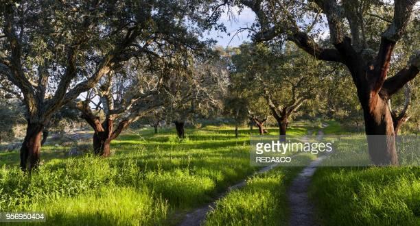 Cork oak in the Alentejo Europe Southern Europe Portugal Alentejo