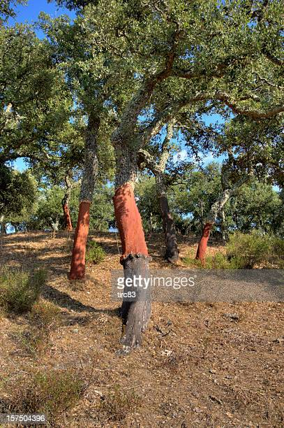 cork oak (quercus suber) - cork tree stock photos and pictures