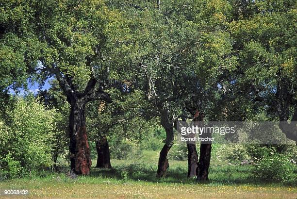 cork oak quercus suber peeled  estremadura,spain - cork tree stock photos and pictures