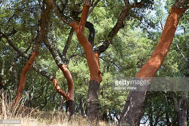 cork oak -quercus suber-, serra de monchique, algarve, portugal, europe - cork tree stock photos and pictures