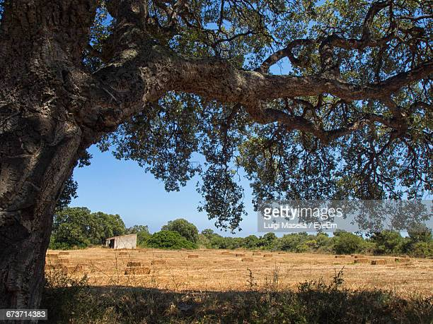 cork oak tree growing on field - cork tree stock photos and pictures