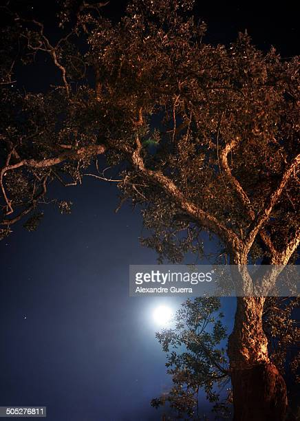 cork oak tree under moonlight - cork tree stock photos and pictures