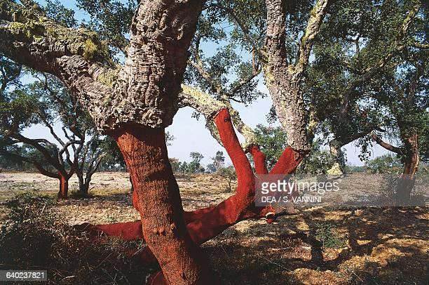 Cork oak trees in a cork oak wood Alentejo Portugal