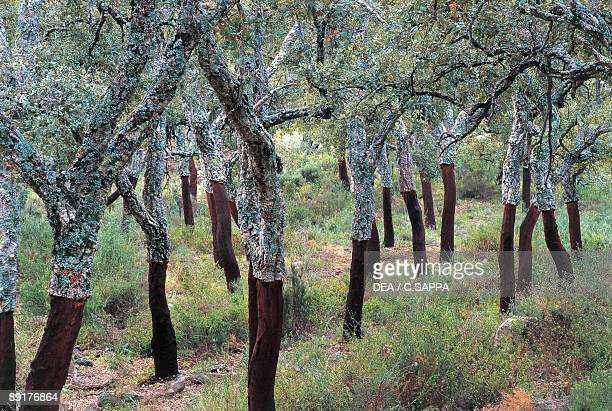 Cork oak trees in a national park Los Alcornocales National Park Andalusia Spain