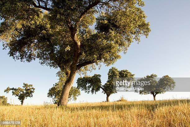 cork oaks in cereal fields in montado countryside - cork tree stock photos and pictures
