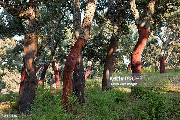 cork oaks - cork tree stock photos and pictures