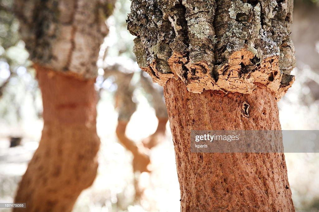 Cork Tree Farming : Stock Photo