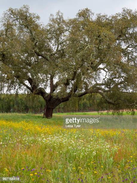 VICENTINA ALENTEJO PORTUGAL A cork tree near the village of Vale Seco in southern Portugal Cork is the phellem layer of bark tissue harvested from...