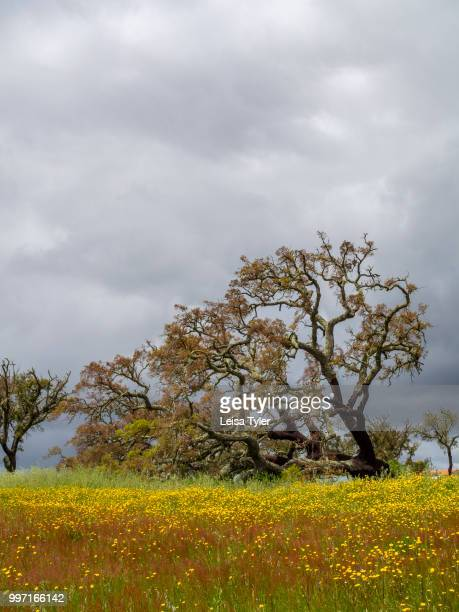 VICENTINA ALENTEJO PORTUGAL A cork tree near Vale Seco in southern Portugal Cork is the phellem layer of bark tissue harvested from cork oaks every...