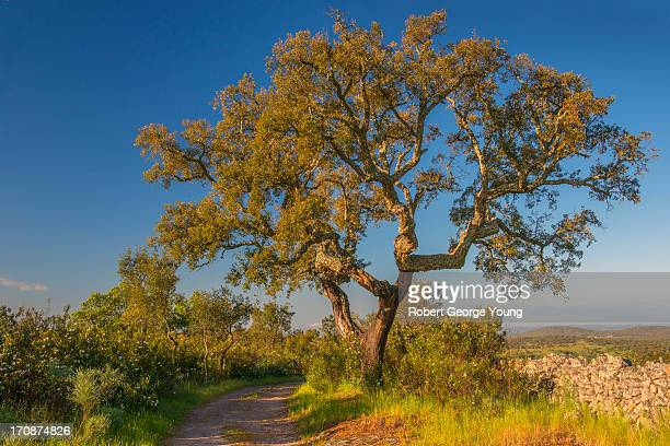 cork tree, stone fence, country road, portugal - cork tree stock photos and pictures