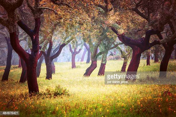 cork trees in the alentejo, portugal - cork tree stock photos and pictures